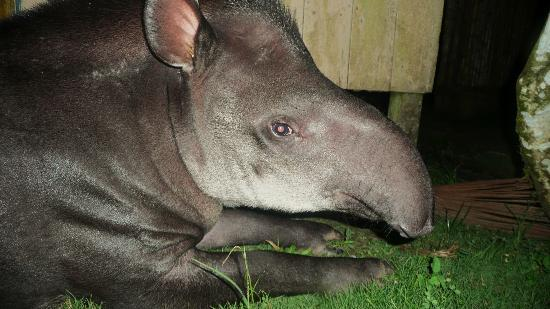 Yarina Eco Lodge: The house-tapir Christina visited us almost daily