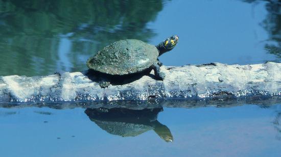 Yarina Eco Lodge: One of many turtles in one lagoon