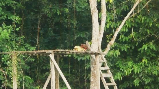 Yarina Eco Lodge: A Dusky Titi Monkey feeding on some bananas at the feeders