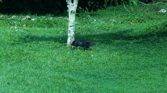 Yarina Eco Lodge: A black agouti, there were many around the lodge