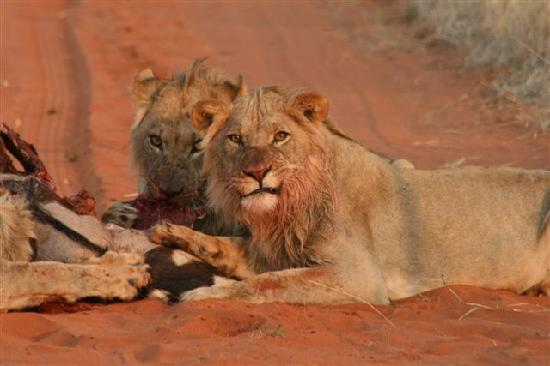 !Xaus Lodge: Game is sparce in the desert - a view of lions is a special sight