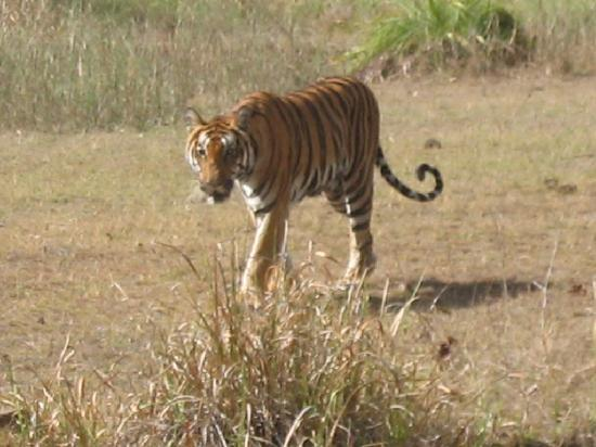 Madhya Pradesh, Indie: Tiger at Pench National Park