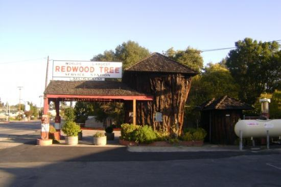 Ukiah, Californien: Giant Redwood stump made into a little gas station originally opened in 1936....too cool.
