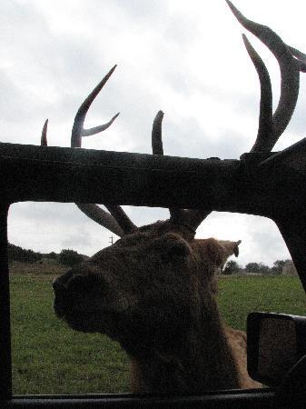 Glen Rose, تكساس: Deer