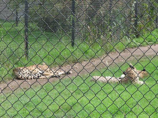 Glen Rose, TX: Cheetas