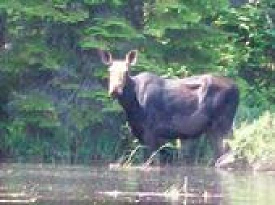 Rockwood Cottages: Moose ( Just across the lake , headed into the secadian river mouth)