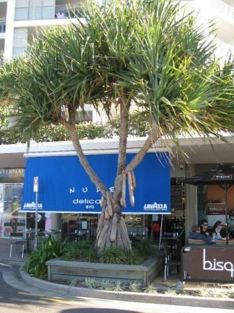 Obscene tree at Maroochydore