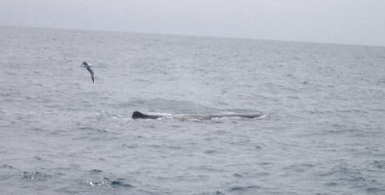 Kaikoura, New Zealand: Sperm Whale & Albatross