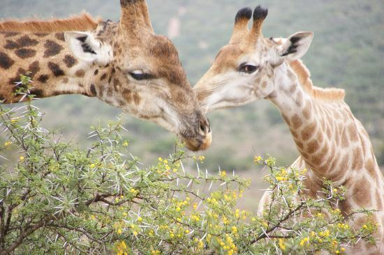 Blaauwbosch Private Game Reserve: my favourite - the giraffes