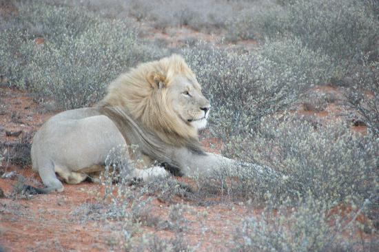 Blaauwbosch Private Game Reserve: the highlight - the male lion