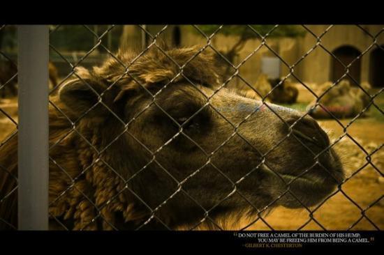 Bactrian Camel @ Riyadh Zoo