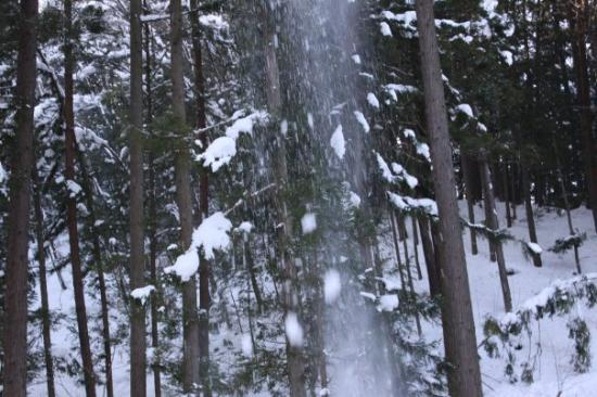 Takayama, Japan: Snow falling of the pine trees everywhere, dangerous place to walk