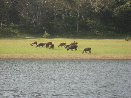 Periyar Wildlife Sanctuary: wild deer on the other side of lake