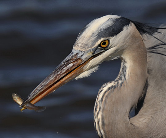 Oceanville, NJ: Great Blue Heron WITH Minnow at Edwin B Forsythe NWR by Angel Cher