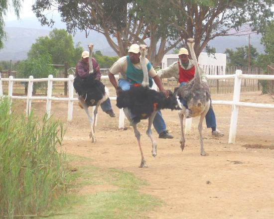 Highgate Ostrich Show Farm: The race is on....