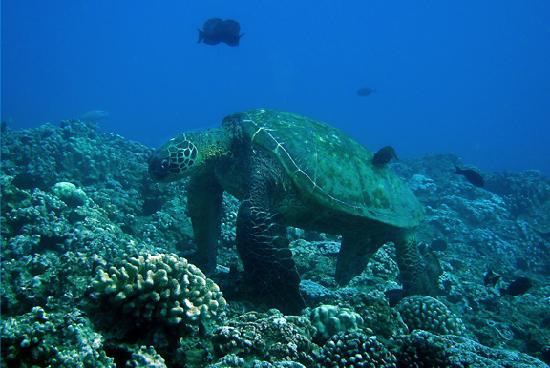 Mike Severns Diving: Giant Beautiful Turtle!