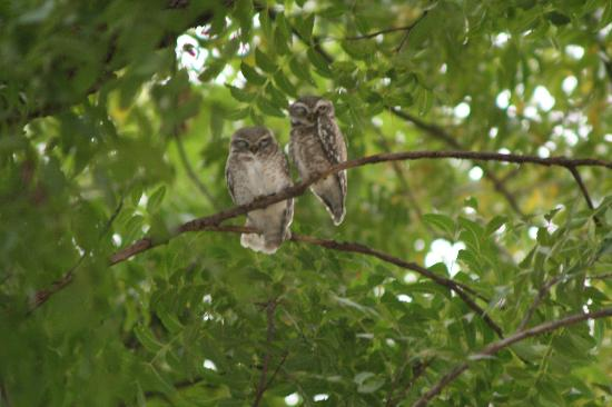 Vivanta by Taj - Sawai Madhopur Lodge: These owls were in the grounds