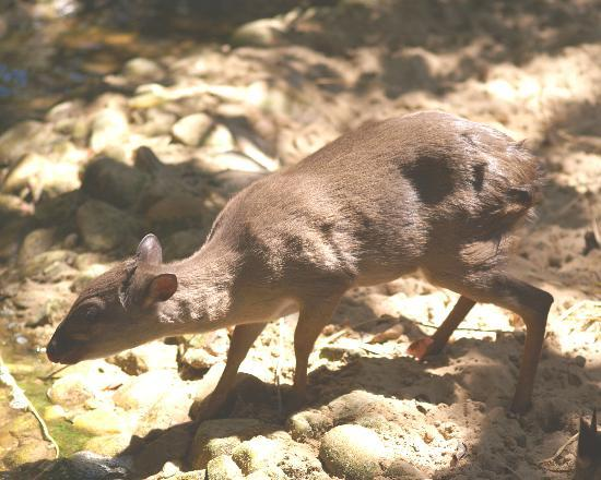 Featherbed Nature Reserve: Blue Duiker
