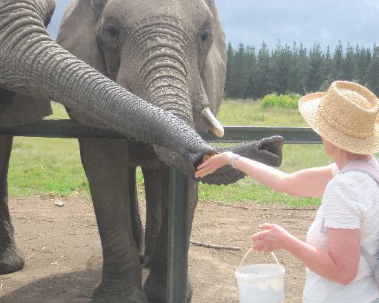 Knysna Elephant Park: Feeding time