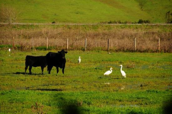 Cambria, CA: Hanging out with the Cows.