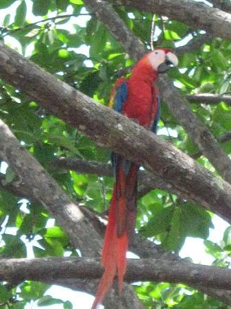 Riviera Riverside Villas: Macaws came into the trees down at the plaza as we were watching the waves.
