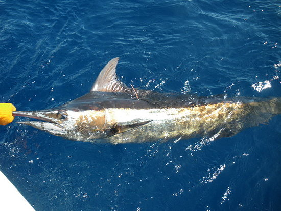 Stanley's Deep Sea Fishing: Blue Marlin