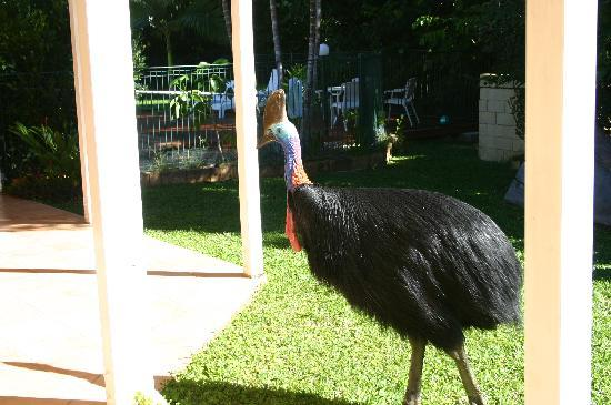 A Tropical Escape B&B: The Cassowary in the back yard