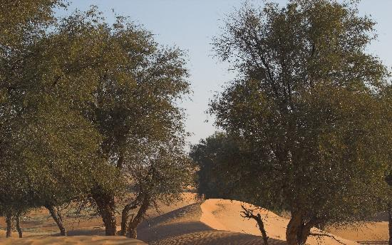 Emirate of Dubai, United Arab Emirates: Ghaf trees