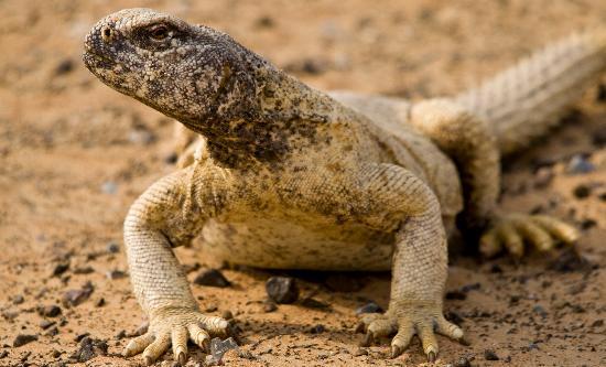 Emirate of Dubai, United Arab Emirates: Spiny-tailed lizard (Dhub)