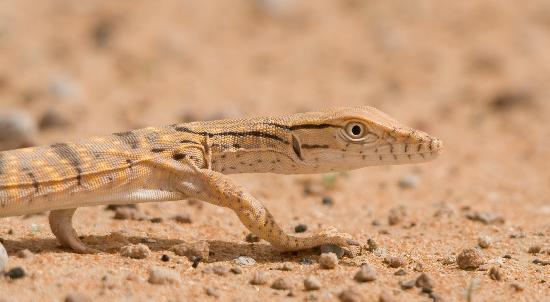 Emirate of Dubai, United Arab Emirates: Young Desert Monitor