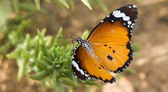 Emirate of Dubai, United Arab Emirates: Plain Tiger butterfly
