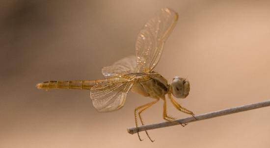 Emirado de Dubai, Emirados Árabes: Carmine Darter Dragonfly