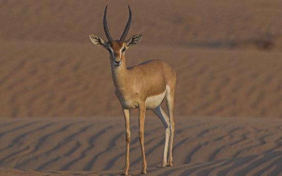 Emirate of Dubai, United Arab Emirates: Arabian Gazelle