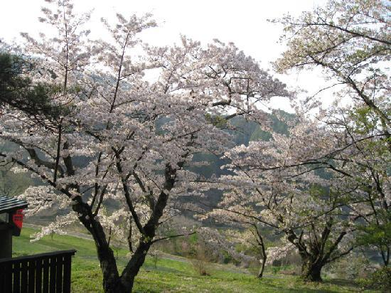 Ueda, Japan: 桜が美しい