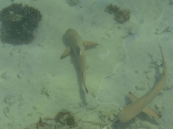 Baros Maldives: baby shark