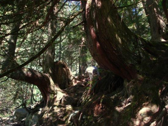 North Vancouver, Canadá: Humongous trees and root systems down