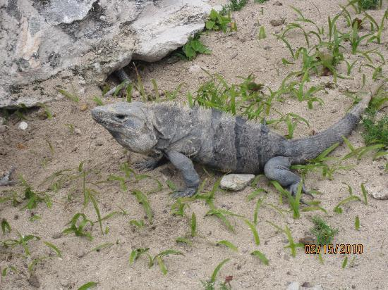 The Royal Cancun All Suites Resort: Iguanas at  Rey Ruins