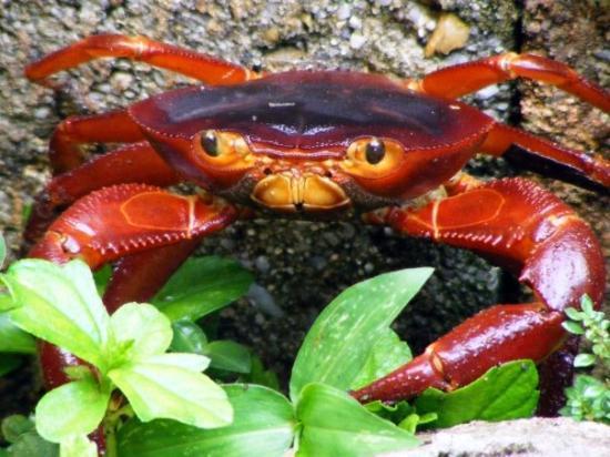 Port of Spain, Trinidad: land Crab