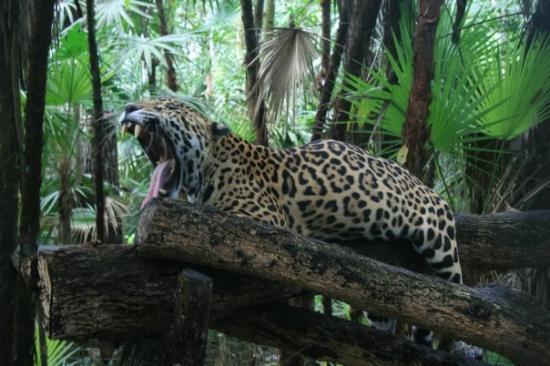 San Pedro, Belize: Jaguar