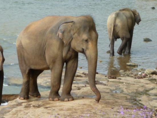 Elephant orphanage - Pinnawala, Sri Lanka