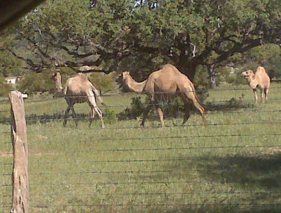 Barksdale, TX: The camels at a neighbors ranch