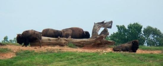 North Carolina Zoo : bison