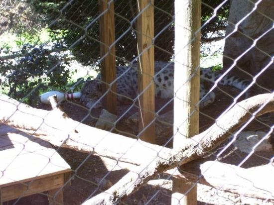 Mill Mountain Zoo : Snow leopard.