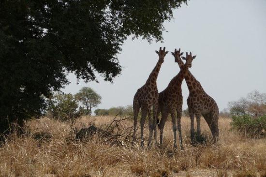Национальный парк Ваза, Камерун: Giraffen im Waza-Nationalpark