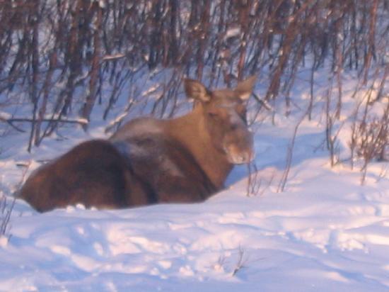 Rencontre avec les élans - Picture of Hotel Samegarden, Kiruna