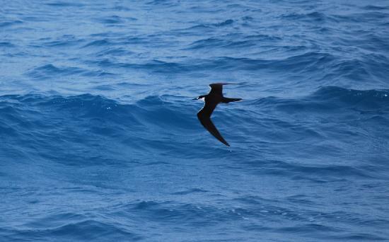 Yankee Freedom III: Sooty Terns