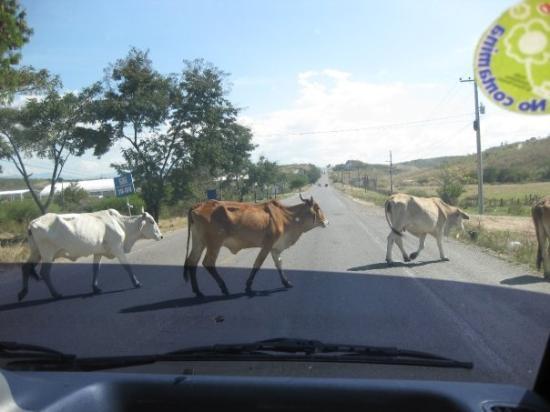 Tegucigalpa, Honduras: Cattle crossing the HIGHway.
