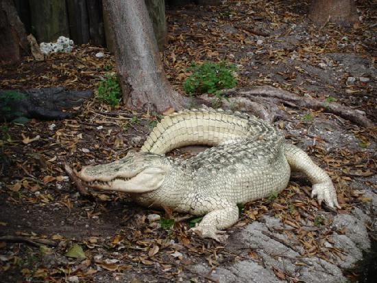 Jungle Island: Albino Crocodile..very rare species