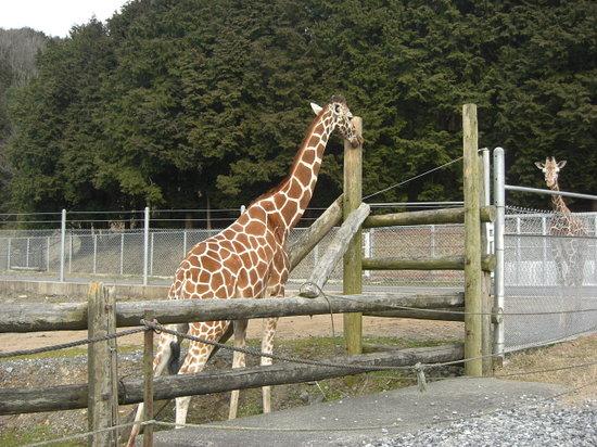 Akiyoshidai Safari Land: 首が長ーい