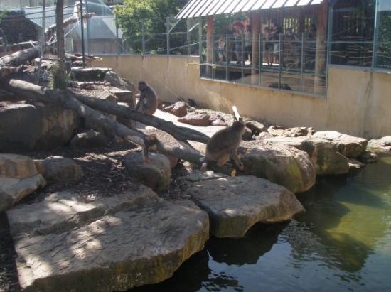 monkeys at launceston park